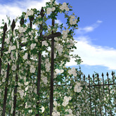 Hedge of rose (white)