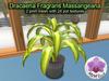 Mesh Plant Dracaena Fragrans Massangeana