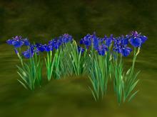 Japanese iris (花菖蒲)_blue