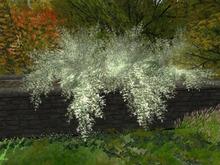 萩 bushclover white