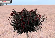 Gothic rose bush blood red small