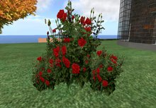 rose bush red 3