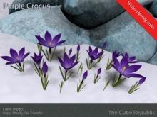 Purple Crocus winter planting