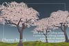 [ Organica ] Cherry Tree 3