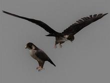 Falcon Pack - Mesh - Full Perm