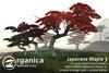[ Organica ] Japanese Maple 3 (MC)