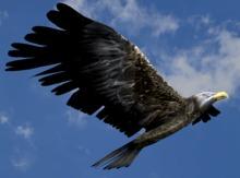 Flying Eagle - Mesh - Full Perm