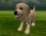 Labarodor puppy 1