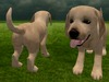Labrador puppy 5