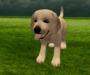 Labrador puppy 7