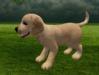 Labrador puppy 8
