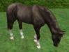 Horse grazing 5
