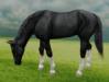 Horse grazing2