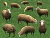 Sheep grazing main