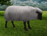 Black face sheep standing 2 pic