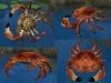 Crab main pic