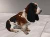 Basset hound sitting 2