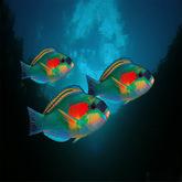 FISH: 3 tropical Parrot fishs, poisson