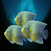 Fishes, 3 tropical Yellow-Blue fishes, r-m-system  (m/tr)