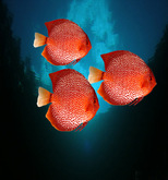 pisci: 3 tropical Red Discus fish, r-m-system  (m/tr)