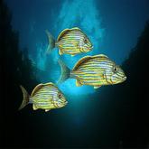 Tropical Gun fish (3)