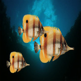 3 copperbad butterfly fish