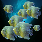 Piscis: 8 tropical Yellow-Blue fishes, r-m-system  (m/tr)