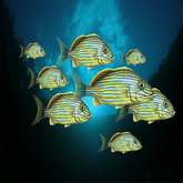 8 tropical Gunt fish