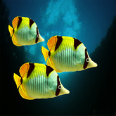 3 pacific butterfly fish