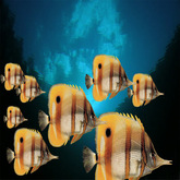 8 copperband butterfly fish