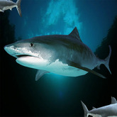 1 Big Bad Shark - Hai, requin, tiburon,  fish, Fische