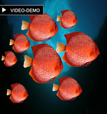 8 Red disco fish