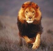 Lion Talk Typer